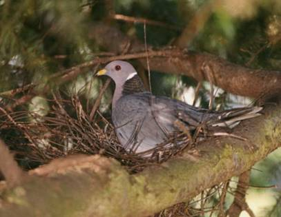 Photo of a Band-tailed pigeon.