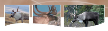 Photo of three Caribou
