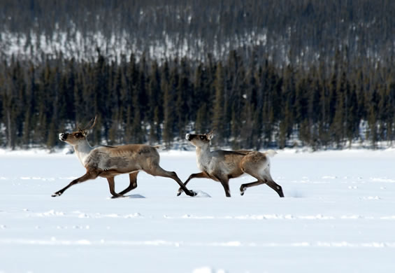 Photograph of two Woodland Caribou running in the snow. Copyright: John A. Nagy