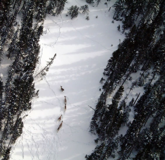 Arial photograph of a small group of Woodland Caribou moving through an opening in the forest. Copyright: A. Chabot