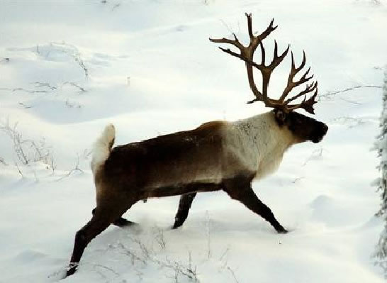 "Photograph of an adult Woodland Caribou walking in the snow - Woodland caribou (boreal population) and boreal caribou are two names referring to the same animal. We are using ""boreal caribou"" here for ease of reading. Copyright: John A. Nagy."