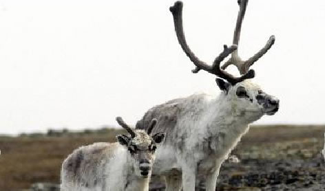 Photograph of two Peary Caribou - a mother and her calf. Copyright: A. Gunn GNWT.