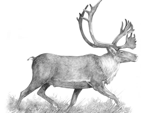 Illustration of an adult Woodland Caribou. Copyright: Judie Shore.