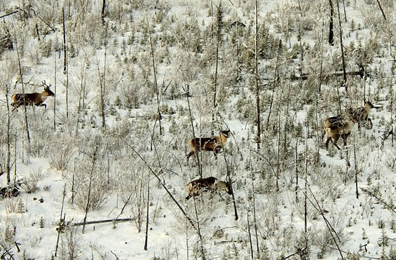 Arial photograph of a small group of Woodland Caribou walking in the snow. Copyright: Government of the Northwest Territories