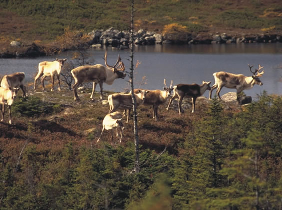Photograph of a small group of Woodland Caribou standing by a body of water. Copyright: Shane P. Mahoney