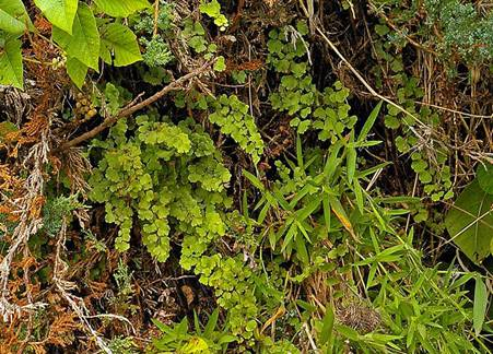Photo: Southern Maidenhair Fern