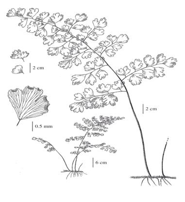 Figure 1 is a line-drawing of Southern maiden-hair Fern showing fern frond with rhizome on the right, and leaflet detail in the upper left.
