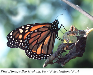 Photo of an adult Monarch butterfly Danaus plexippus.