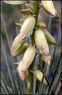 An image of a group of yucca moths resting on a soapweed plant