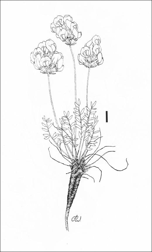 Line drawing of Hare-footed Locoweed.