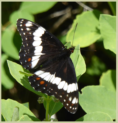 Photo of Weidemeyer's Admiral