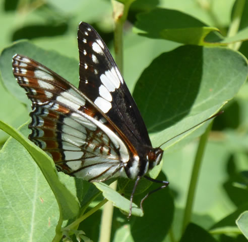 Photo of Weidemeyer's Admiral (see long description below)