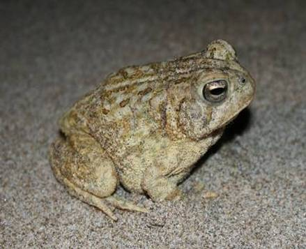 Photo: Fowler's Toad