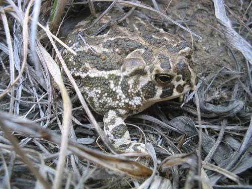 Photo of a Great Plains Toad in Saskatchewan partly concealed by grasses.