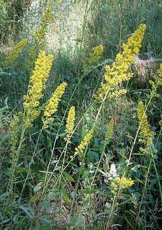 Photo of Showy Goldenrod on Walpole Island First Nation lands showing habit.