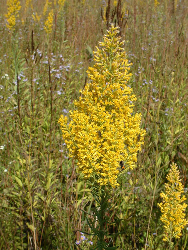 Photo of Showy Goldenrod inflorescence (S. speciosa var. rigidiuscula) on Walpole Island First Nation lands.
