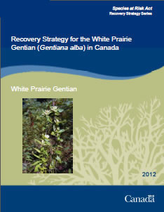 Cover of the publication: Recovery Strategy for the White Prairie Gentian (Gentiana alba) in Canada - 2012