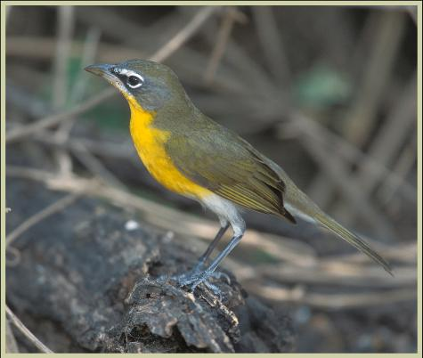Yellow-breasted Chat virens subspecies