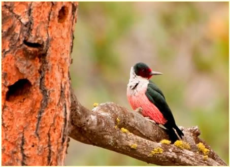 Photo of MP – Lewis's Woodpecker.
