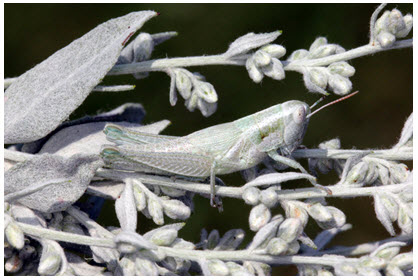 Photo of a Greenish-white Grasshopper, lateral view, on its foodplant, Artemisia ludoviciana (see long description below).