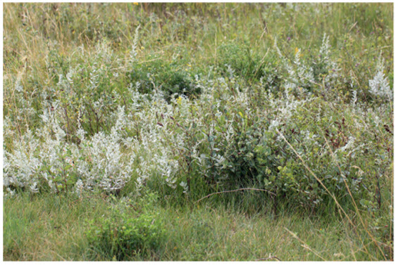 Photo of a typical patch of White Sagebrush (see long description below).