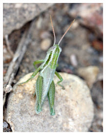 Photo of the Greenish-white Grasshopper (see long description below).