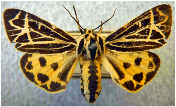 Photo of an adult Island Tiger Moth (see long description below).