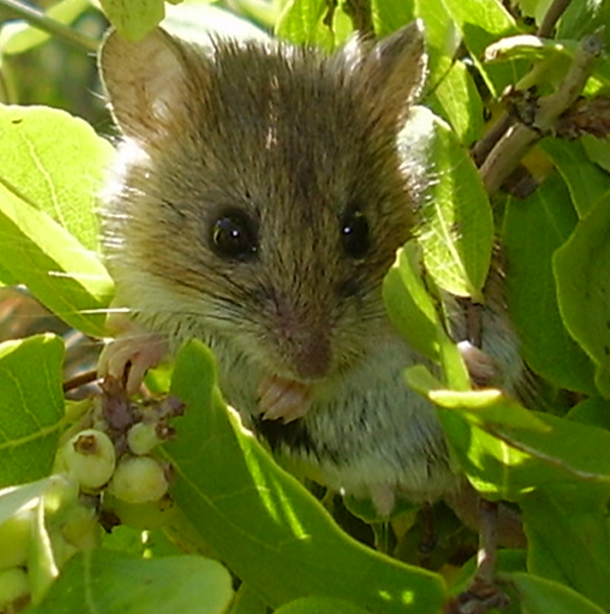Photo: Western Harvest Mouse