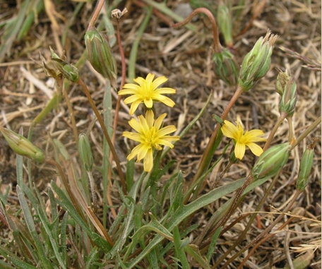 Coast Microseris in flower. © Matt Fairbarns