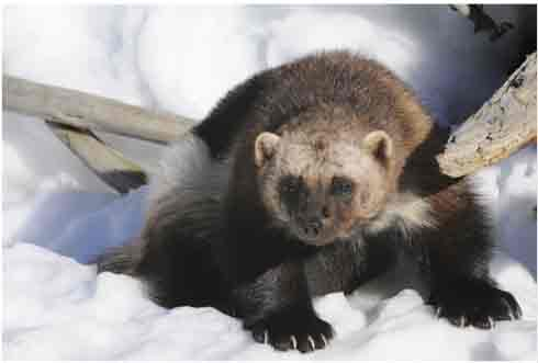 Photo of the Wolverine, Eastern Population