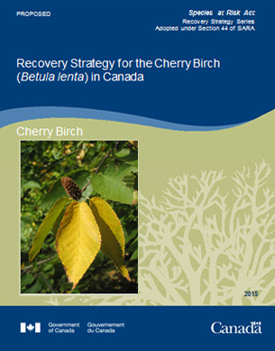 Cover photo: Recovery Strategy for the Cherry Birch (Betula lenta) in Canada