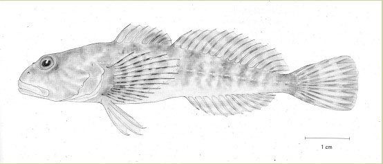 Illustration of Columbia sculpin, Cottus hubbsi, by Diana McPhail