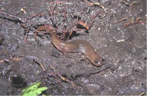 Photo of the Northern Dusky Salamander on wet muddy substrate, taken from above and showing some of the right side. The photo shows the distinctive stout body, larger hind legs than forelegs, and the characteristic pale line extending from the eye to the rear of the jaw. The back of this individual is a uniform yellowish brown.