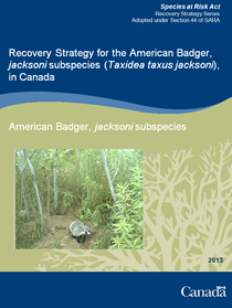 Cover page of the publication: Recovery Strategy for the American Badger, jacksoni subspecies (Taxidea taxus jacksoni), in Canada – 2013