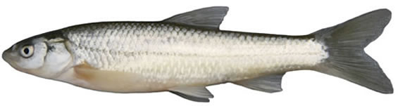Photo of a Plains Minnow Hybognathus placitus collected from Rock Creek, Saskatchewan (lateral view). The body colour of this silvery minnow is tan to olivaceous dorsally with a well-developed mid-dorsal stripe. The sides are silvery with no lateral band, while the under-body is whitish. The mouth is sub-terminal and the fins are slightly pointed.