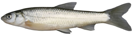 Photo of a Plains  Minnow collected from Rock Creek, Saskatchewan (lateral view). The  body colour of this silvery minnow is tan to olivaceous dorsally with a  well-developed mid-dorsal stripe. The sides are silvery with no lateral band,  while the under-body is whitish. The mouth is sub-terminal and the fins are  slightly pointed