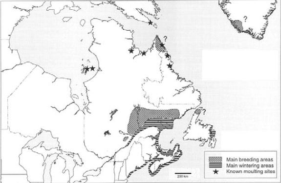 Map showing the breeding and wintering distributions and known moulting sites for Barrow's Goldeneye/Eastern Population (from Robert et al. 2000).