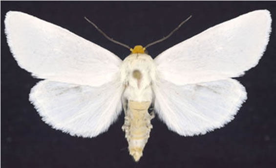 Figure 1 shows photograph of the White Flower Moth: top view with wings open