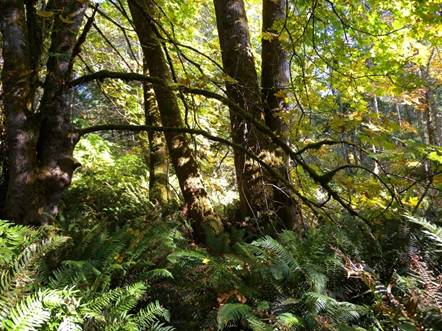 Photo showing Threaded Vertigo habitat in mainly deciduous riparian forest with Bigleaf Maple and Sword Fern.