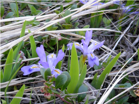 Photo of the Dwarf Lake Iris Iris Lacustris in flower.