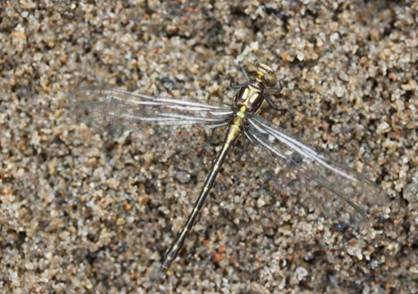 Photo of a teneral Riverine Clubtail (see long description below).