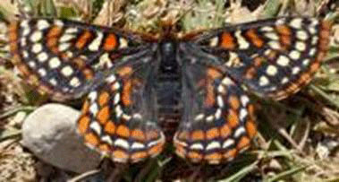 Photo of the Taylor's Checkerspot, showing dorsal wing surfaces.