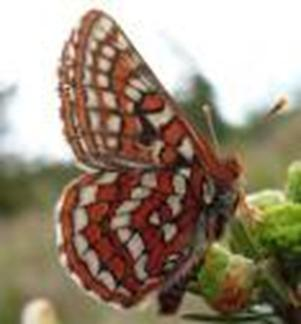 Photo of the Taylor's Checkerspot, showing ventral wing surfaces.