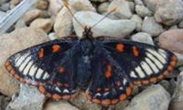 Photo of an alternate colour morph of the Taylor's Checkerspot, showing dorsal wing surfaces.