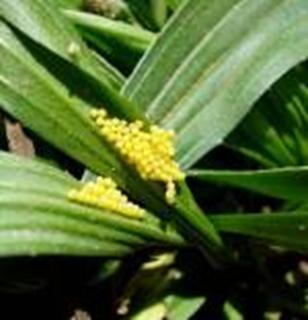 Photo of Taylor's Checkerspot eggs on Lance-leaved Plantain. The eggs are bright yellow, indicating they are freshly laid.