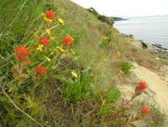 Photo of Harsh Paintbrush on cliffsides at Helliwell Provincial Park, Hornby Island.