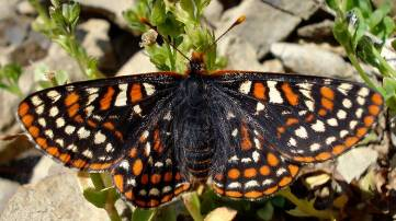 Photo of the Taylor's Checkerspot Euphydryas editha taylori, dorsal view.