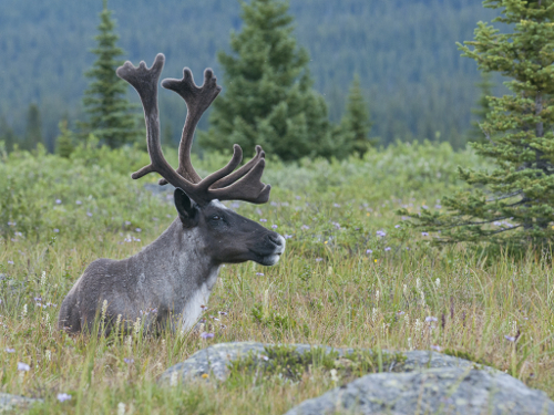 This photograph shows a Southern Mountain woodland caribou. It was taken in the Tonquin Valley in Jasper National Park.