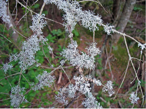 Photo of Pseudevernia cladonia showing the pale grey, branching thalli on dead twigs of a live Balsam Fir tree in old growth Red Spruce-dominated forest. The photo was taken in the Nerepis Hills, New Brunswick.