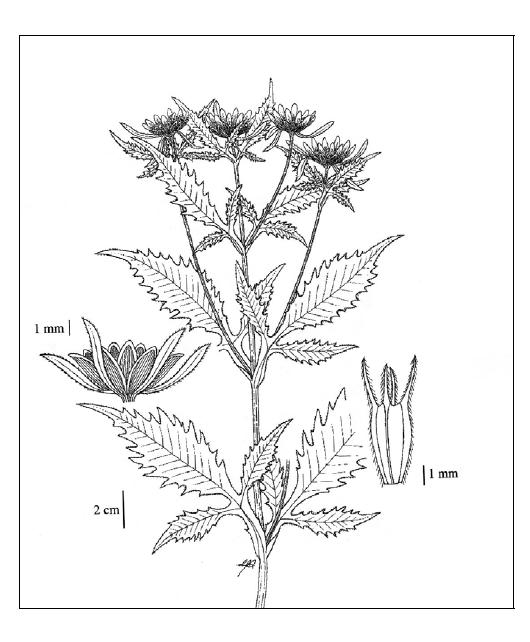 Vancouver Island Beggarticks - Line drawing by Elizabeth J. Stephen in Illustrated Flora of British  Columbia, Vol. 1, (1998).